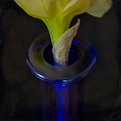 HMM! Blue Vase with Narcissus (suzanne~) Tags: macromondays hole flower vase blackbackground narcissus macro velvet56 holes