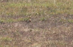Temminck's Courser (douwesvincent) Tags: nature uganda oeganda africa world earth eco natural outdoor safari wild open holiday trip birding explore green flora fauna life