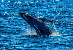 Jump (Robert Streithorst) Tags: breach cabo humpback norwegianstar robertstreithorst whale