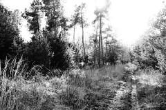 Forêt de Moulière (86) (Esteban 86360) Tags: arbre tree bois wood moulière forêt forest france vienne 86 poitou saintgeorgeslesbaillargeaux pins
