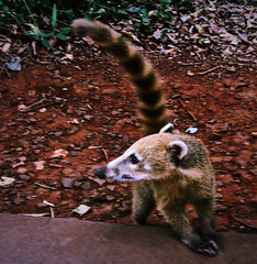 Coati Concerned (Alexander H.M. Cascone [insta @cascones]) Tags: second south america southamerica argentina latinoamerica latin misiones iguazu cataratas de foz do parana junglo jungle cascada selva forest nature natural flora trees fauna animal mammal coati tail cola striped wildlife tame claw claws concerned concern look looking watch turned