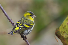 K32P4399c Siskin, Lackford Lakes, February 2019 (bobchappell55) Tags: wild bird wildlife nature lackfordlakes suffolk siskin woodland carduelisspinus