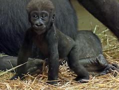 western lowlandgorilla Damsi Artis 094A0325 (j.a.kok) Tags: animal artis africa afrika aap ape mammal monkey mensaap primate primaat zoogdier dier gorilla westelijkelaaglandgorilla westernlowlandgorilla lowlandgorilla laaglandgorilla damsi