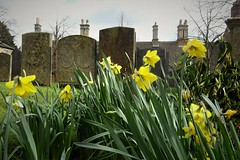 Melton churchyard (Dun.can) Tags: daffodils yellow spring meltonmowbray leicestershire stmarys churchyard church graveyard cemetery