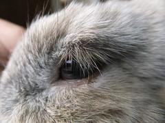 Eyelashes (eveliensbunnypics) Tags: bunny rabbit lop lopeared polly face closeup eye lashes eyelashes okt