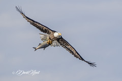 Big One (david.horst.7) Tags: eagle fish flight flying bird nature wildlife