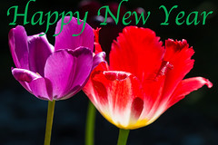 Happy New Year Everyone (The Rustic Frog) Tags: warwickshire tulips 2019 2018 uk england village central midlands spring flowers new year wishes greetings domestic cultured blooms stems petals colour red purple