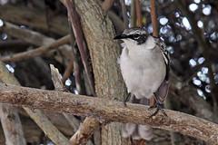 Santa Cruz (fordc63) Tags: galapagos ecuador equator island tropical ecology unesco southamerica latinamerica nationalpark fauna flora bird birding birdwatching ornithology endemic wildlife nature
