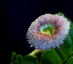 Flower (ringwaldpeter) Tags: flowers nature white green plants
