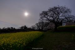 朧月 Hazy moon in spring (Masayuki Nozaki) Tags: spring moon hill flower