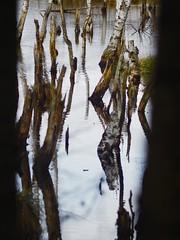 Reflexion - Wasser & Bäume im Tarbeker Moor - 24. März 2019 - Schleswig-Holstein - Deutschland (torstenbehrens) Tags: olympus penf 7xef53213mm f28 reflexion wasser bäume im tarbeker moor 24 märz 2019 schleswigholstein deutschland