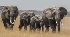 _A120128 (BergsPix) Tags: elephants africa kenya safari amboseli masaai mara samburu tusks mammals