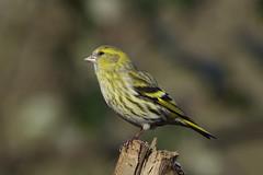 K32P4779c Siskin, Lackford Lakes, February 2019 (bobchappell55) Tags: wild bird wildlife nature lackfordlakes suffolk siskin woodland carduelisspinus