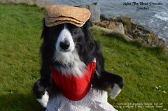 Head Pancake Stacker (ASHA THE BORDER COLLiE) Tags: pancake day shrove tuesday head stacker funny dog picture border collie apron ashthestarofcountydown connie kells county down photography