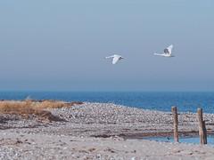 Beach & Birds - 15. Februar 2019 - Fehmarn - Schleswig-Holstein - Deutschland (torstenbehrens) Tags: beach birds fehmarn baltic sea olympus penf 70mm300mm lens 15 februar 2019 schleswigholstein deutschland