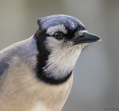 Blue Jay Portrait (Melissa M McCarthy) Tags: bluejay bird songbird blue jay animal nature outdoor wildlife wild portrait closeup winter face mountpearl newfoundland canada canon7dmarkii canon100400isii