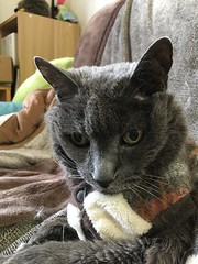 Argent (sjrankin) Tags: 8march2019 edited animal cat argent closeup couch tunic livingroom blanket kitahiroshima hokkaido japan