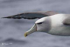 White-capped Albatross (R. Francis) Tags: whitecappedalbatross thalassarchecautasteadi ryanfrancis ryanfrancisphotography tasmania tas tassie tasmanpeninsula continentalshelf eaglehawkneck pelagic