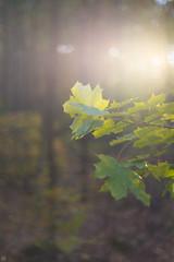 October Sunlight (Slav.Burn) Tags: autumn sunlight forest woods light glow green yellow 2018 pentaxart smc m 50mm f14 leaves smcm50mmf14