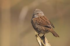 Dunnock (microwyred) Tags: feather beak nature bird birds wildlife dunnock spennellsvalleypark animal