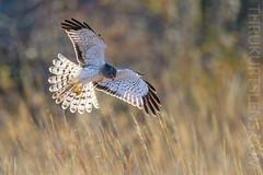 The Grey Ghost - Explore 3-13-2019 (ThruKurtsLens.com) Tags: flying harrierhawk kurtwecker nature naturephotographer talons thrukurtslenscom wildlifephotographer wildlifephotography winter