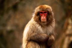 Snow Monkey by the pool (Vera Rong Wang) Tags: monkey monkeyonsen jigokudani 地獄谷野猿公苑
