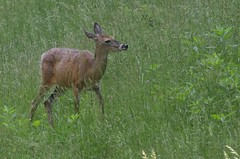 2018 05 21 661 Carr farm, WV (Mark Baker.) Tags: 2018 america baker braxton county mark may north us usa virginia wv west day deer outdoor photo photograph picsmark rural spring states united whitetailed wildlife