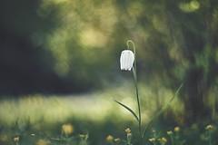 Fairytale (Janette Paltian) Tags: janettepaltian canon 6dii helios helios402 402 chequeredlily schachbrettblume lily flower nature natur garden garten grün green spring frühling dof bokeh