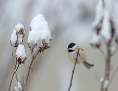 Snow Day (rob.wallace) Tags: winter2019huntleymeadowsparkalexandriava carolina chickadee snow alexandria va