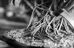 Bonsai Roots (robbiemaynardcreates) Tags: bonsai tree massachusetts emily crozier robbie maynard creates chinese art black white photography ilford fp4 125 minolta xe5 35mm film portrait nature garden greenhouse analog bnw people orange cactus