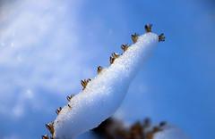 snow closeup 3 (scott1346) Tags: snow ice cold winter closeup macro plant seeds coveredup brown white blue colors canont3i autofocus 1001nights contactgroups