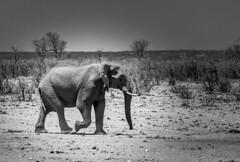 Dry (Sheldrickfalls) Tags: elephant elephantbull boyela boyelawaterhole shingwedzi krugernationalpark kruger krugerpark limpopo southafrica mopani