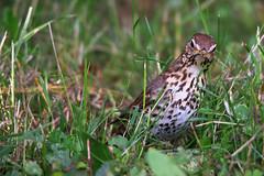 Singdrossel / Song thrush (Turdus philomelos) (uwe125) Tags: song thrush bird animal drossel gras vogel garten erde pflanze makro laub