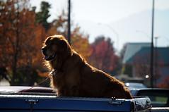 DSC_4223 (2) (digifotovet) Tags: dog large pickup