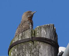 Rufous-necked Wryneck (Jynx ruficollis)-6864 (Dave Krueper) Tags: africa aves bird birds landbird picidae piciformes rnwr southafrica woodpecker wryneck