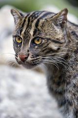 Last fishing cat picture (Tambako the Jaguar) Tags: fishingcat wild cat cute portait face posing standing looking munich münchen hellabrunn zoo germany nikon d5