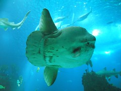 Moon-Fish (Helderlopesfotos) Tags: moonfish peixelua portugal fish oceanário aquarium lisbon lisboa water nature sea blue light
