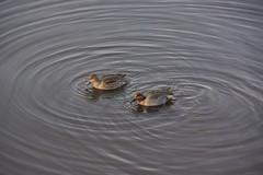 Concentric Circles (AdagioatMSN) Tags: teals water ripples juanitabay lakewashington