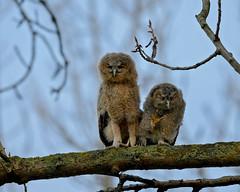 Tawny Owls (Kees499  Nature pics) Tags: tawnyowl keesmolenaar nikon d850 alblasserwaard holland uil owl bosuil takkeling strix aluco strixaluco