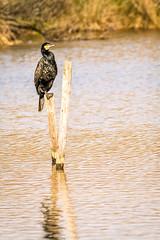 Grand Cormoran (Phalacrocorax carbo) (G.NioncelPhotographie) Tags: grand cormoran phalacrocorax carbo