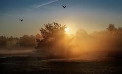 Halterner Heide - early in the morning (Der Hamlet) Tags: haltern nrw heidelandschaft halternerheide sonnenaufgang dunst lichtstrahlen