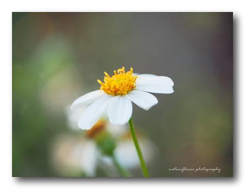 My snow white - little wild flower.