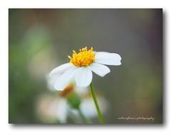 My snow white - little wild flower. (natureflower photography) Tags: little wild flower white soft bokeh petals shadow yellow green light
