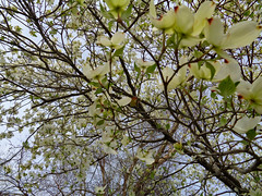Dogwood Blossoms. (dccradio) Tags: lumberton nc northcarolina robesoncounty outdoor outdoors outside tree trees branch branches treebranch treebranches march spring springtime sunday morning sundaymorning goodmorning flower floral flowers flowering floweringtree dogwood dogwoodtree pretty beauty beautiful scenic bloom bloomingblossom blossoming sony cybershot dscw830 treelimb treelimbs