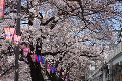 IMGP4424 (kirinoa) Tags: 神奈川県 横浜市 日ノ出町 黄金町 大岡川 桜