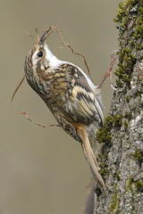 Treecreeper (Kentish Plumber) Tags: treecreeper certhiidae woodland nature wildlife detailed nesting nestbuilding nestmatierial feathers plumage