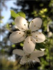 (Tölgyesi Kata) Tags: botanikuskert botanicalgarden debotkert debrecen withcanonpowershota620 debrecenibotanikuskert whiteflower spring tavasz hungary macro