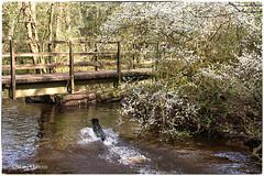 Morning Swim (14/30) (Missy2004) Tags: nikkorafs18140mmf3556gedvr newforest beaulieuriver blackthorn bridge blossom tiva flatcoatedretriever april2019amonthin30pictures