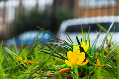 """120212 Clissold 1 (hoffman) Tags: clissoldpark hackney outdoors nature flowers crocuses davidhoffman davidhoffmanphotolibrary socialissues reportage stockphotos""""stock photostock photography"""" stockphotographs""""documentarywwwhoffmanphotoscom copyright"""