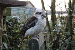 Kookaburra (John Campbell 2016) Tags: kookaburra fivesisterszoo bird sittingonabench beautiful beautifulbird lookingintothecamera cheekybird canon1300d canon canoncamera